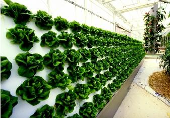 This demonstration of hydroponics in Walt Disney World's Epcot Center (Orlando, Florida) yielded bountiful harvests of lettuce. Lettuce grows easily in a hydroponic system because it is a fast-growing, compact plant with shallow roots.