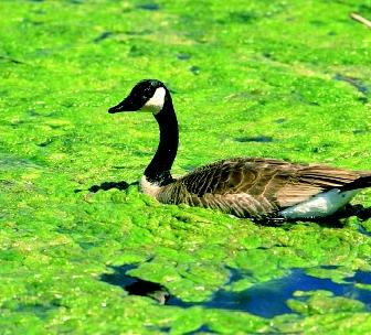 Some algal blooms in fresh water may only be a nuisance, but others can deplete dissolved oxygen in the water or generate biotoxins that are harmful to birds, fish, and other animals. This Canada goose swims among a floating layer of heavy, but probably harmless, algal growth.