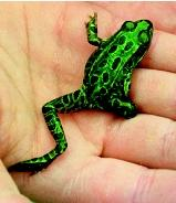 Deformities in amphibians and other aquatic creatures sometimes can be attributed to chemical contaminants. Other causes may include ultraviolet radiation or biological factors such as parasites or infection.