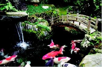 Although carp ponds are rooted in antiquity, they are still popular today, and enthusiasts worldwide maintain associations devoted to these fish. Shown here are colorful koi, originally bred from the common grass carp, swimming in a pond at a Japanese garden and teahouse. Carp have religious and cultural significance in Asia and other parts of the world.