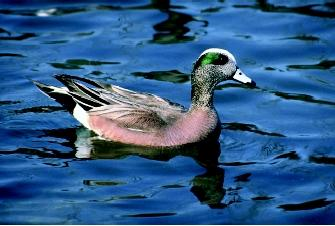 "The American widgeon is a common marsh duck which spends much of its time in deep water. It is nicknamed ""bald pate"" because the male has a white stripe on its head."