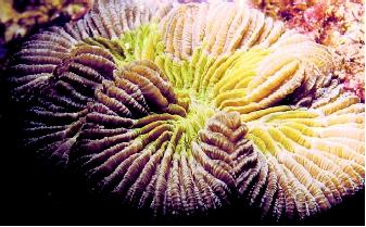 (Top) Pillar coral, Dendrogyra cylindrus, is a Caribbean coral species noted for its cathedral-like columns or pillars. (Bottom) A coral species from the family Mussidae is shown here exhibiting the septa, a feature of the skeleton (thin plates); the red color is contributed by plant pigments in the zooxanthellae.