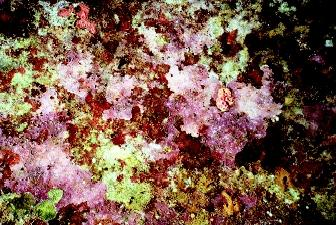 Coralline algae produce calcium carbonate skeletons that assist in building reefs. The coralline algae typically are found in areas with heavy wave surge.