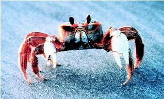 The ghost crab, native to the eastern United States, spends most of its life on land. Ghost crabs can be seen scurrying down to the water in order to wet their gills, which must be kept moist in order to breathe.
