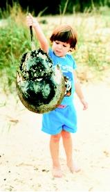 The shells (carapaces) of horseshoe crabs sometimes are found on beaches. If this were a live animal, picking it up by the tail could cause injury to the crab.