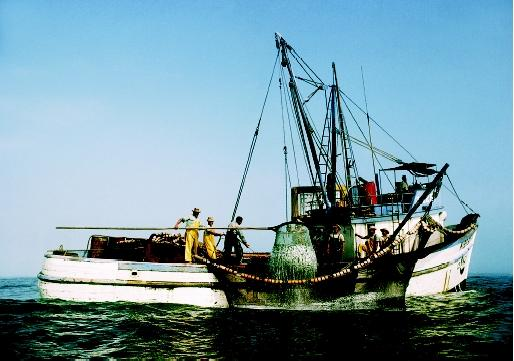 El Niño was named by Peruvian fishers who noticed that the warming of ocean surface waters reduced their anchovy catch. Here fishers pull a load of anchovies off the coast of Peru during normal ocean conditions.
