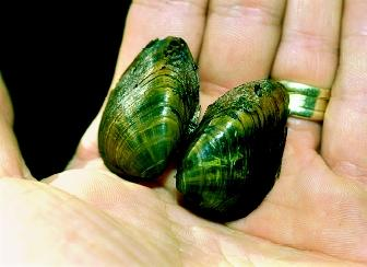 More than thirty clam species were federally listed as endangered as of November 2002. Fresh-water mussels, such as this clubshell mussel, are particularly at risk.