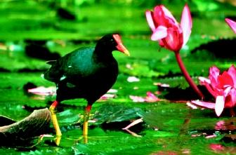 The Hawaiian common gallinule was among the first species to be listed under the Endangered Species Preservation Act of 1966. This legislation was a forerunner of the 1973 Endangered Species Act.