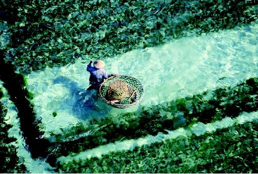 This seaweed plantation in Bali, Indonesia illustrates the role of mariculture (marine aquaculture) in meeting human food demands. Global seaweed production exceeds 10 million metric tons annually.