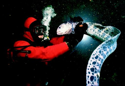 This diver comes face-to-face with a wolf eel, which can inflict a painful bite. Biting and stinging animals in the ocean can cause human injuries ranging from mild to severe, and in rare cases, life-threatening.