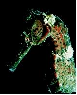 The seahorse is pelagic and nektonic, meaning that it lives in the water column and swims rather than floating or drifting.