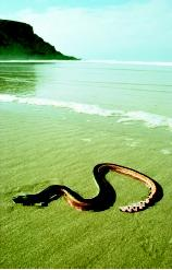 Aquatic snakes include amphibious species that live both on land and in the water and species that occupy marine habitats only (such as this yellow-bellied sea snake). Some have paddle-like tails that help propel them through the water. All aquatic snakes breathe using lungs, however, and must return to the water surface to obtain oxygen.