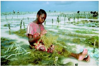 Low-technology forms of mariculture take advantage of the nutrients and other physical and chemical characteristics of the ocean. This employee works with cultured seaweed on an East Africa plantation. The cycle of planting and harvesting occurs every 3 to 4 weeks year-round, and daily hours are spent preparing, planting, and collecting the seaweed during low tide.