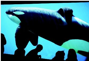 Keiko, the killer whale made famous by a Hollywood movie and by efforts to return him to the wild, is shown in 1997 at the Oregon Coast Aquarium in Newport, Oregon. As of early 2003, Keiko was being reintegrated into Iceland's wild orca population.