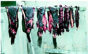 Marine mammals still serve as a primary food source for many aboriginal societies living near coasts worldwide. This seal meat is drying outside a residence in Savoonga, a small community on St. Lawrence Island in the Bering Sea, Alaska.
