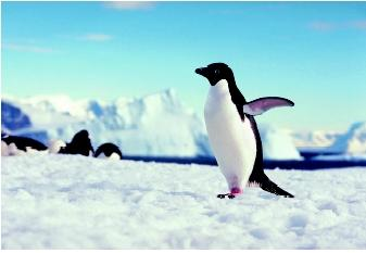 Polar habitats support populations of diving birds such as penguins and puffins, and marine mammals such as whales, seals, and polar bears. These animals are more visible than the invertebrate and microscopic communities found in the water column, on the seafloor, and in sea ice.