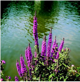 A clump of purple loosestrife flourishes on a bank of the River Cherwell in central England. This member of the Lythrum family is among the most notorious of invasive plants that threaten fresh-water ecosystems.
