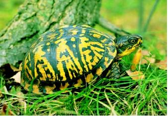 The Eastern box turtle is a common resident of woodlands and wetlands of the eastern and southeastern United States. The turtle has a sharply domed carapace and a hinged undershell into which it can withdraw its legs, head, and tail and then close tightly when threatened.
