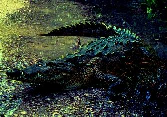 Crocodilian species are found in half of all countries, mostly in tropical regions. Despite their rather broad distribution, the numbers of crocodilians grow smaller with poaching and the ongoing loss of habitat by development and human overpopulation. Some species (e.g., the Chinese alligator) are endangered or threatened with extinction.